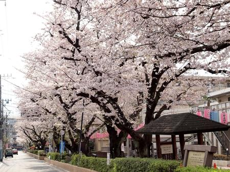 馬込桜並木通り