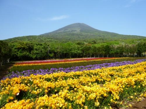 八形山フリージア畑
